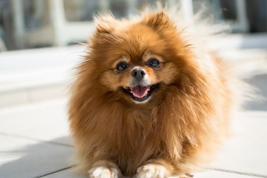 5 Dog Breeds That Stay Small Forever