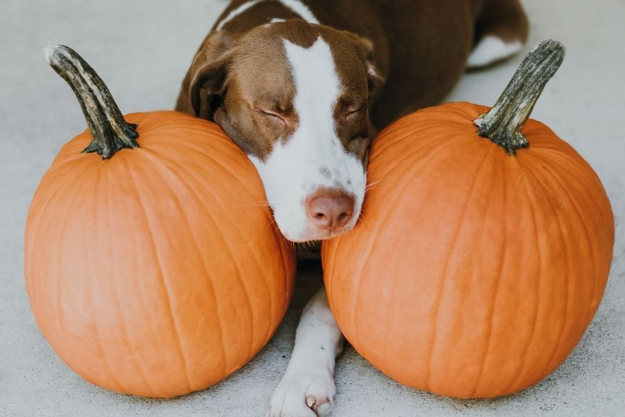 Can Dogs & Cats Eat Pumpkin Is It Safe