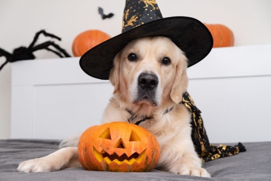 4 STEPS to Get Your Pet Comfortable in Their Halloween Costume)